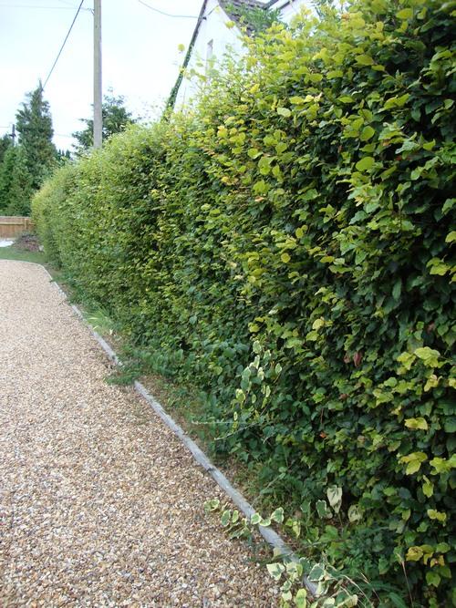 izg2 1 Живая изгородь в вашем загородном доме