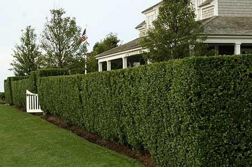 izg3 1 Живая изгородь в вашем загородном доме
